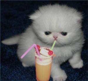 cocktail-kitten