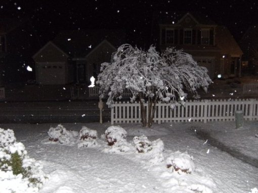 snowymyrtletree